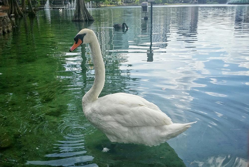 LakeEola.Orlando.swans.20160427_144902-01_W