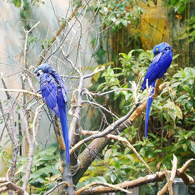 Can you believe these beautiful blue macaws are in Canada?hellip