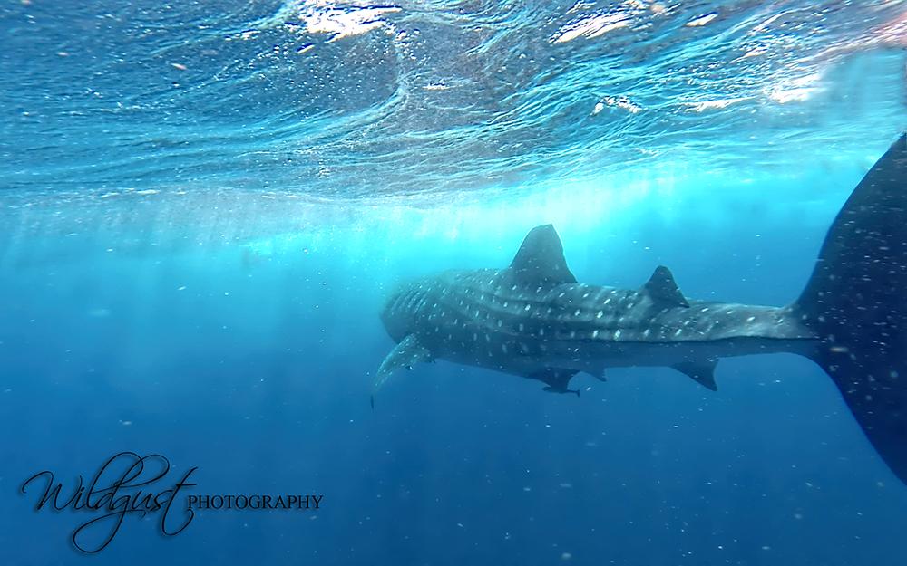 whalesharktour.shark2