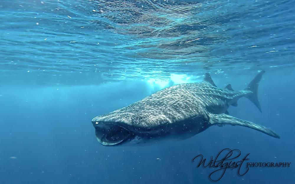 whale-shark-headfirst.mexico
