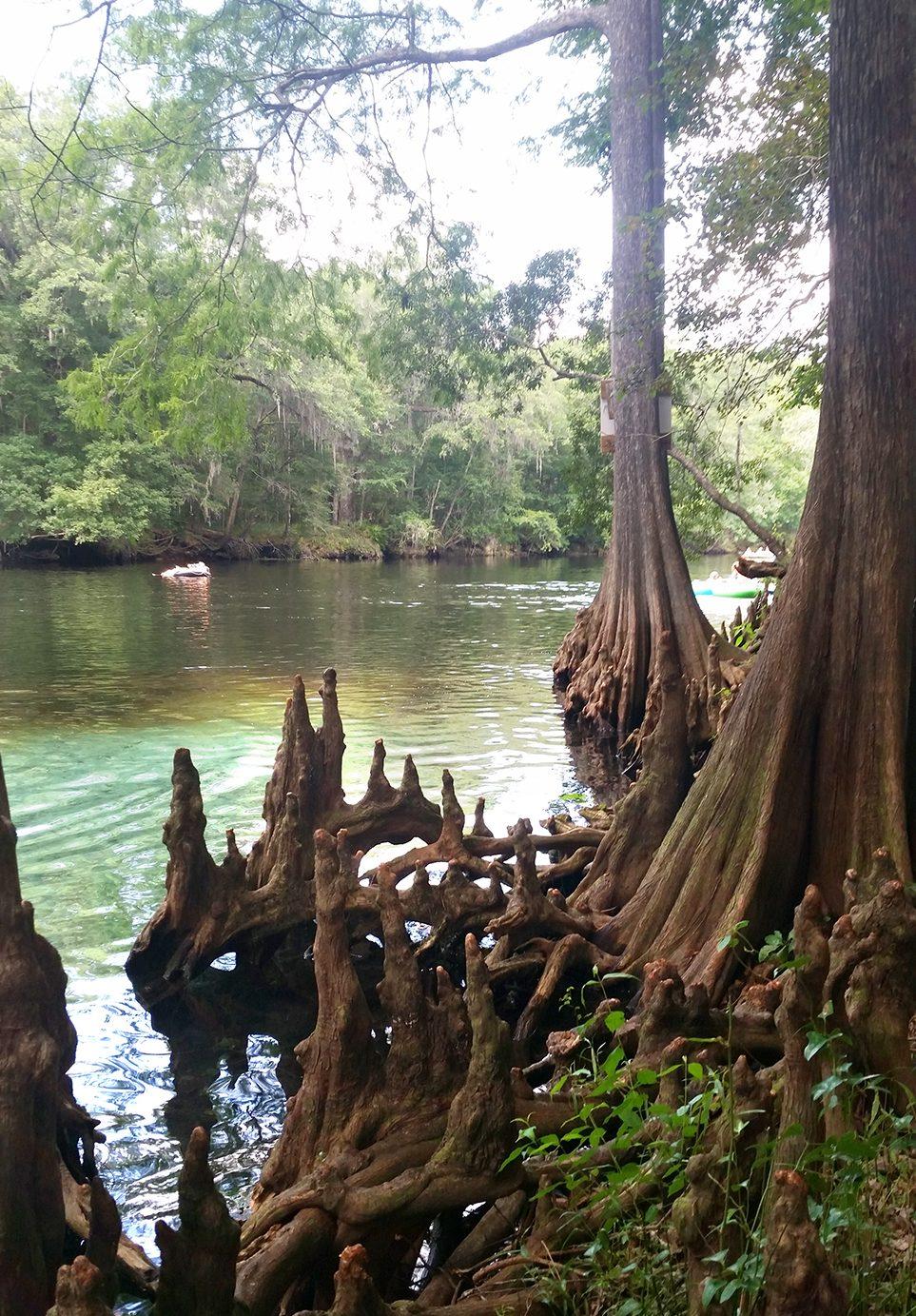 2016-06-24GinnieSprings.treeroots