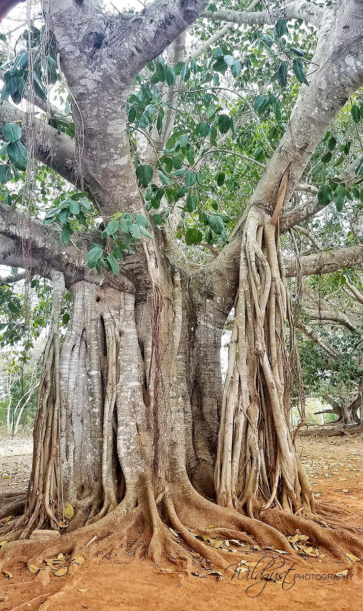 Cuba.Vinales.oldtree