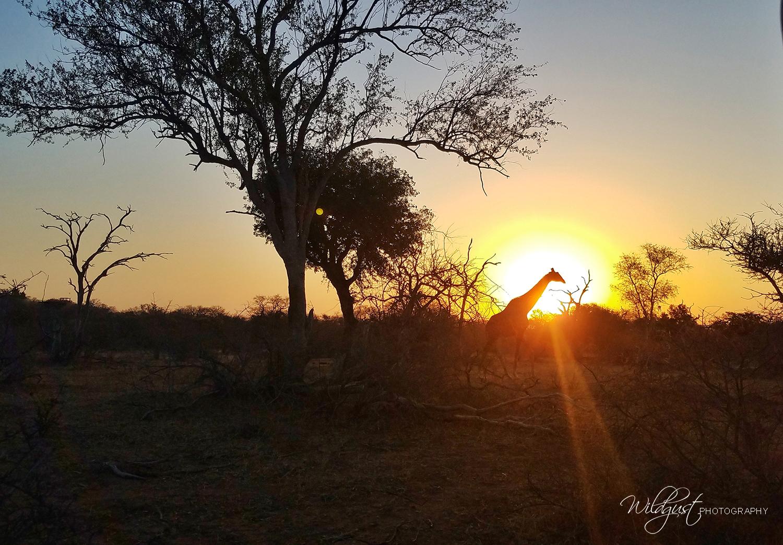 South.Africa.Safari.sunsetgiraffe