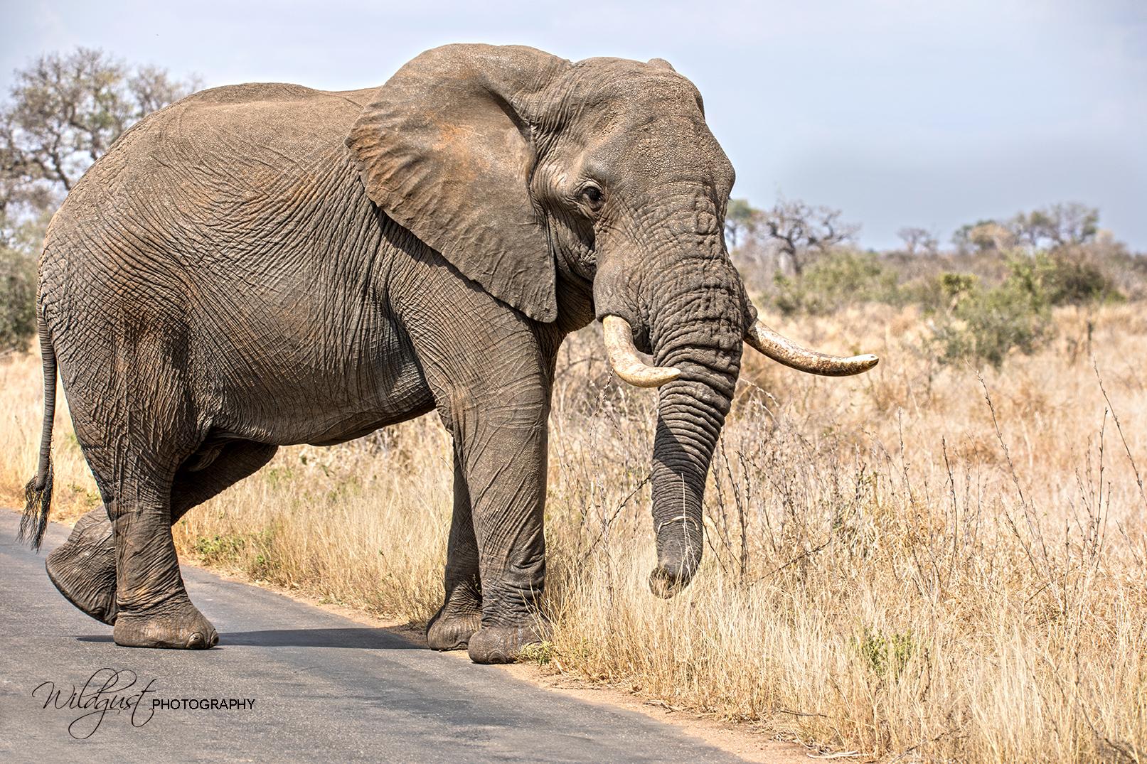 South.Africa.Safari.Kruger.elephant.closeup