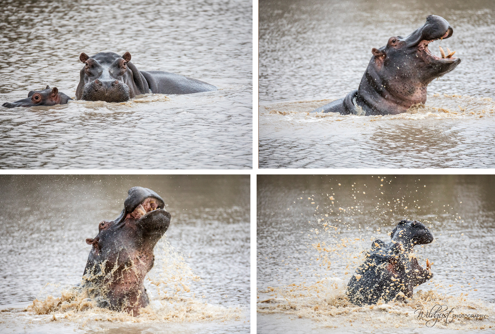 southAfrica.hippo.water..2Q5A9603
