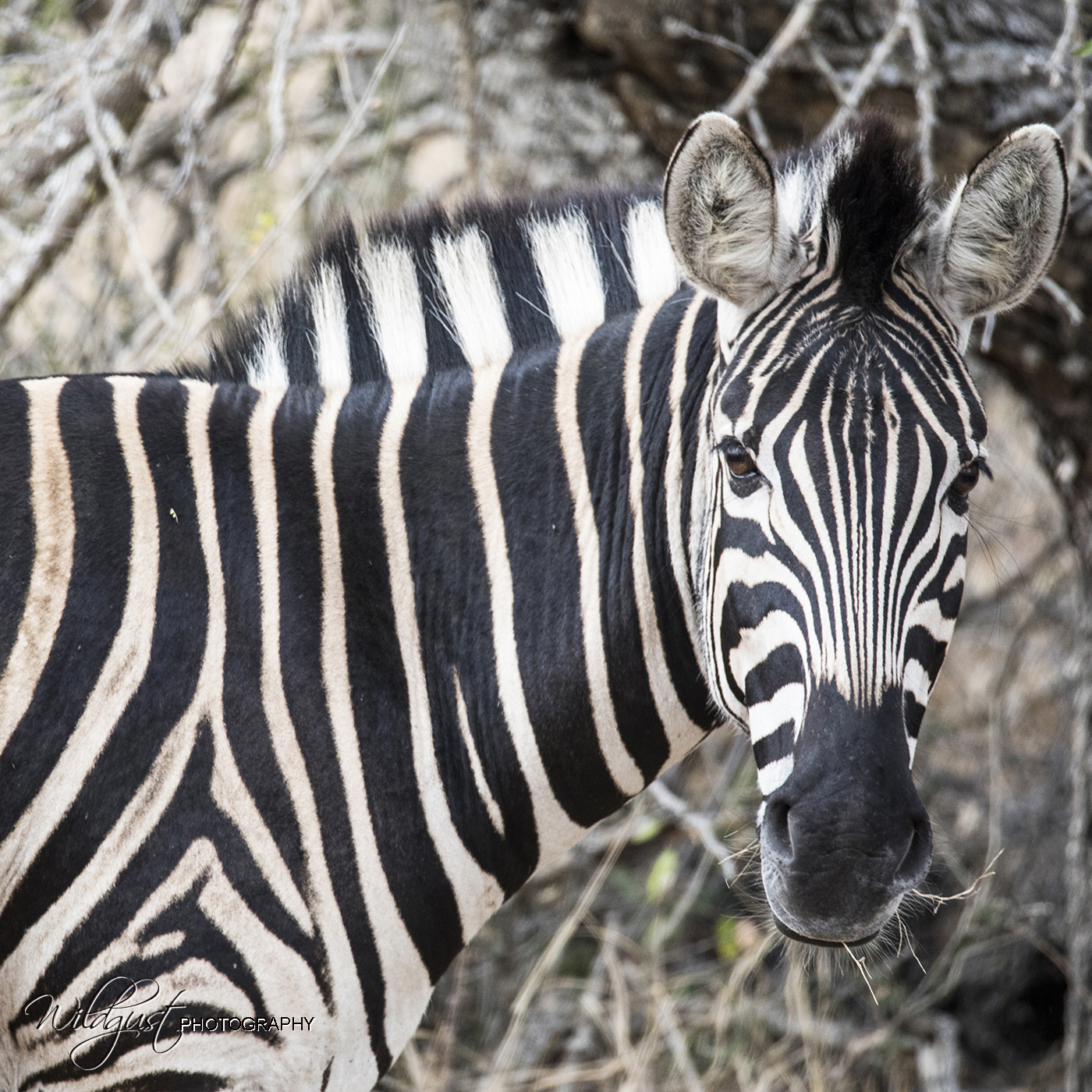 South.Africa.Safari.Kruger.zebra.closeup