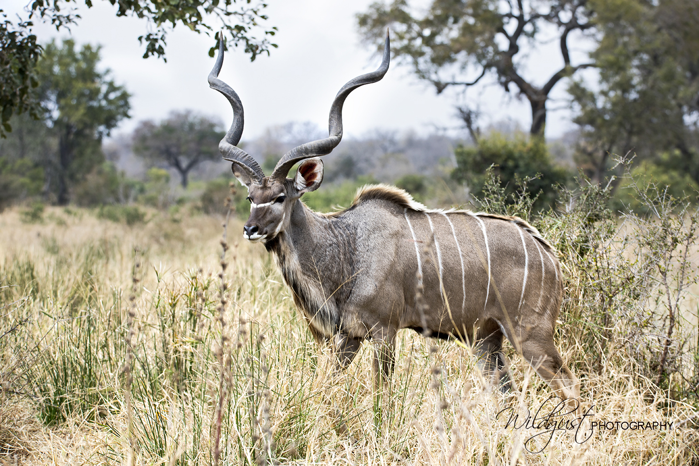 South.Africa.Safari.animals.Kudo