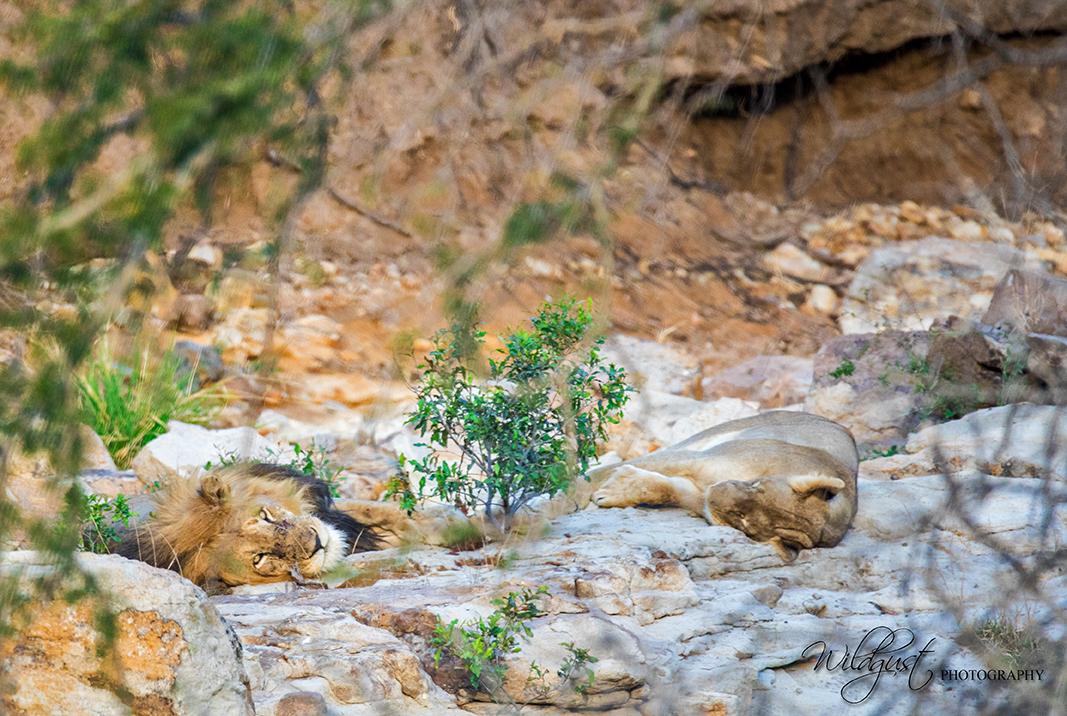 southafrica.safari.sleeping lionw