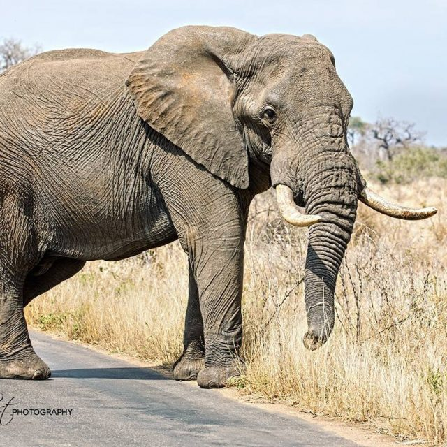 This handsome fellow was literally stopping traffic at Kruger Nationalhellip