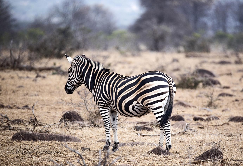 southafrica.kruger.zebra.2Q5A9881w