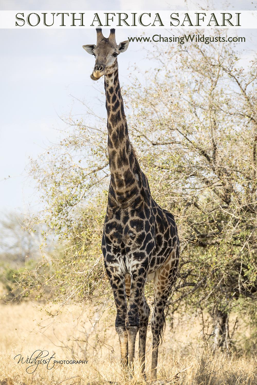 SouthAfrica.titlegiraffe.2Q5A0176w