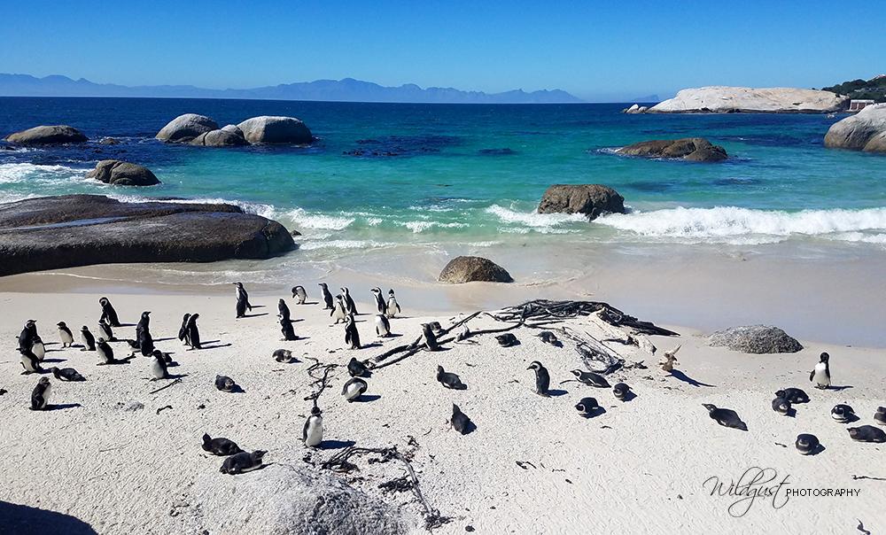 SouthAfrica, BouldersBeach, Penguins