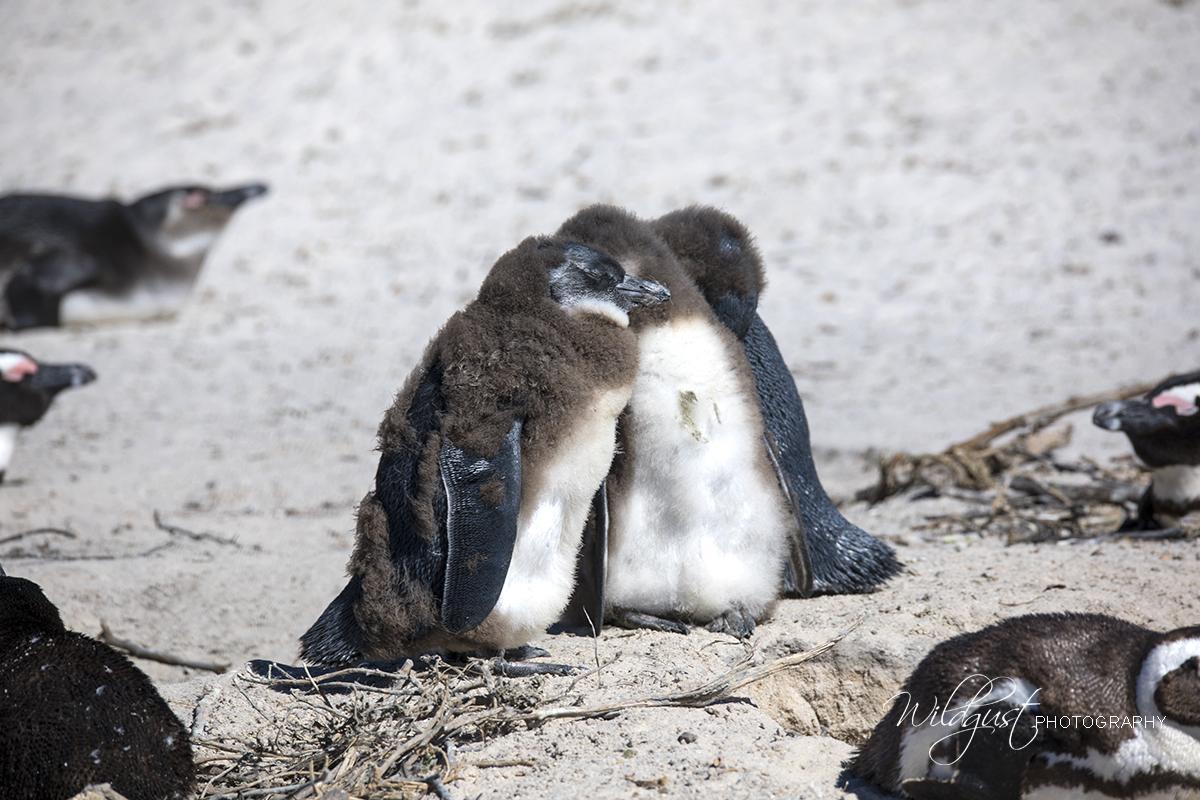 Boulders Beach - penguin babies